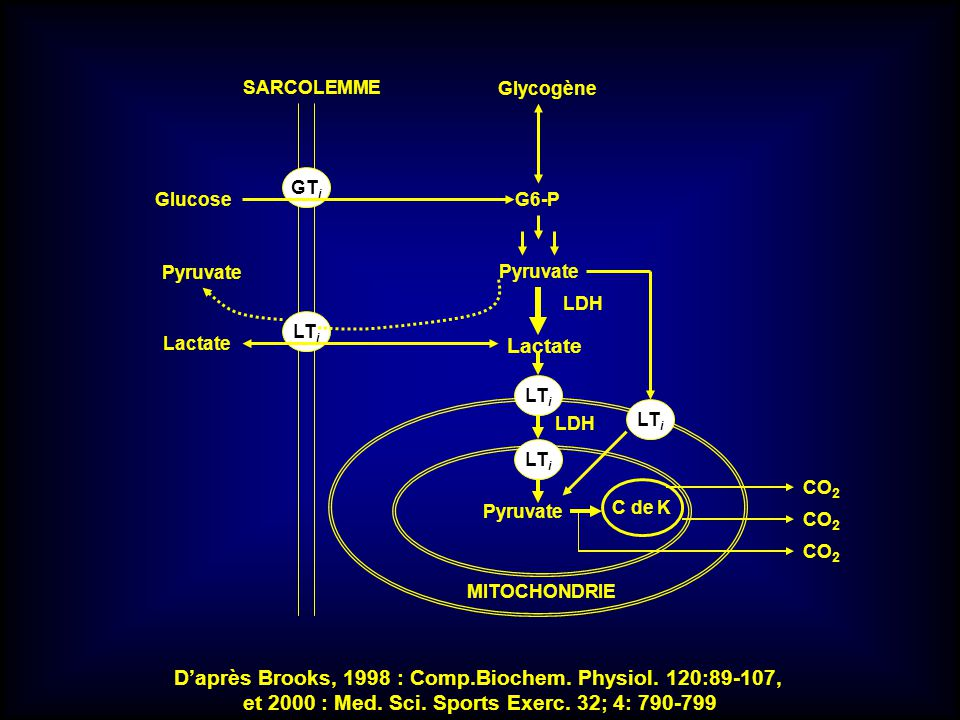 GT i LT i SARCOLEMME Glycogène G6-PGlucose Pyruvate Lactate Pyruvate C de K LT i Pyruvate CO 2 MITOCHONDRIE LDH Daprès Brooks, 1998 : Comp.Biochem. Ph