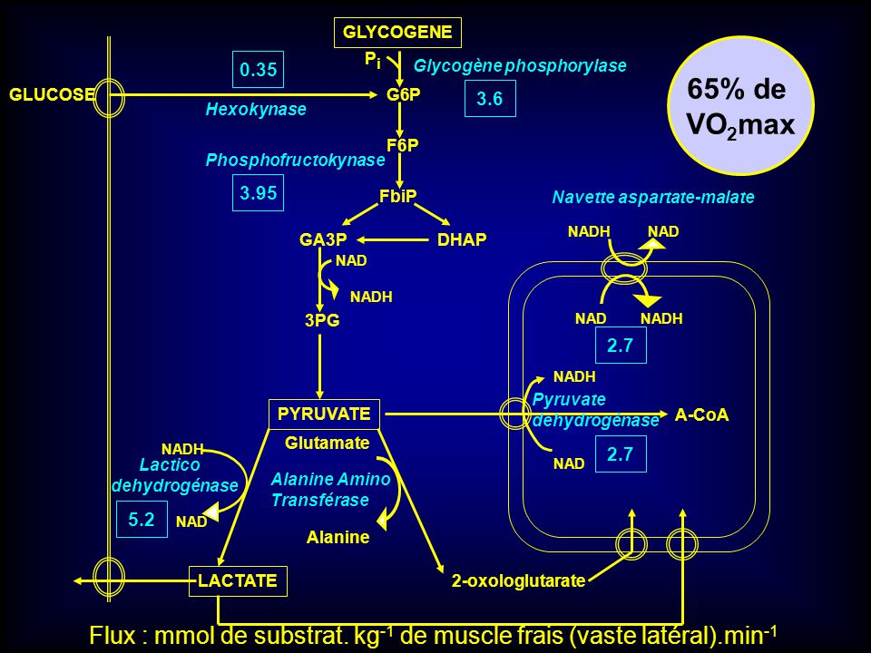 GLYCOGENE Glycogène phosphorylase G6P PiPi F6P Phosphofructokynase GLUCOSE Hexokynase FbiP GA3PDHAP NAD NADH 3PG PYRUVATE LACTATE Glutamate Alanine Alanine Amino Transférase 2-oxologlutarate NADH NAD NADHNAD NADH Pyruvate dehydrogénase A-CoA Navette aspartate-malate 65% de VO 2 max 3.6 0.35 3.95 Lactico dehydrogénase NADH NAD 5.2 2.7 Flux : mmol de substrat.