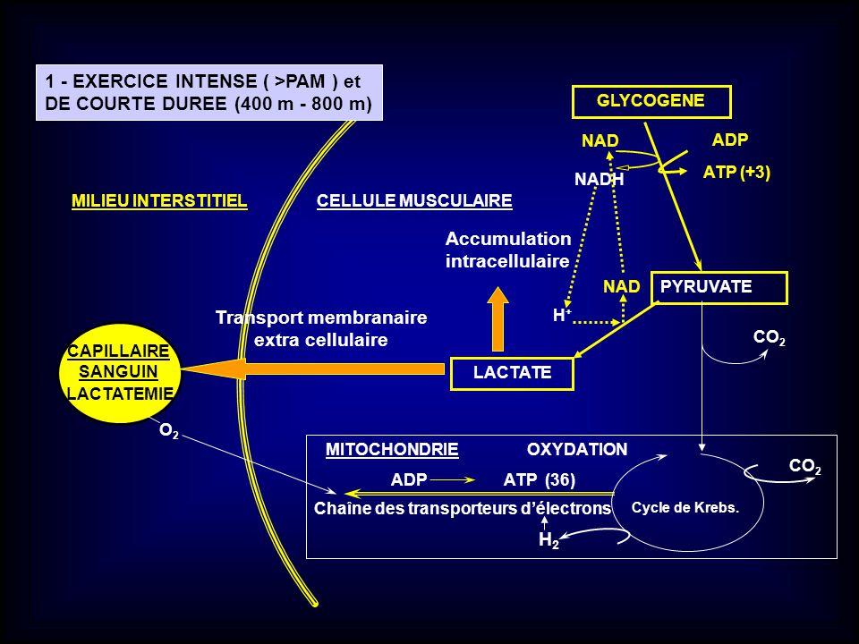 GLYCOGENE CELLULE MUSCULAIRE CAPILLAIRE SANGUIN O 2 PYRUVATE LACTATE Cycle de Krebs. A DP ATP (36) CO 2 CO 2 ATP (+3) ADP H+H+ NADH NAD Chaîne des tra