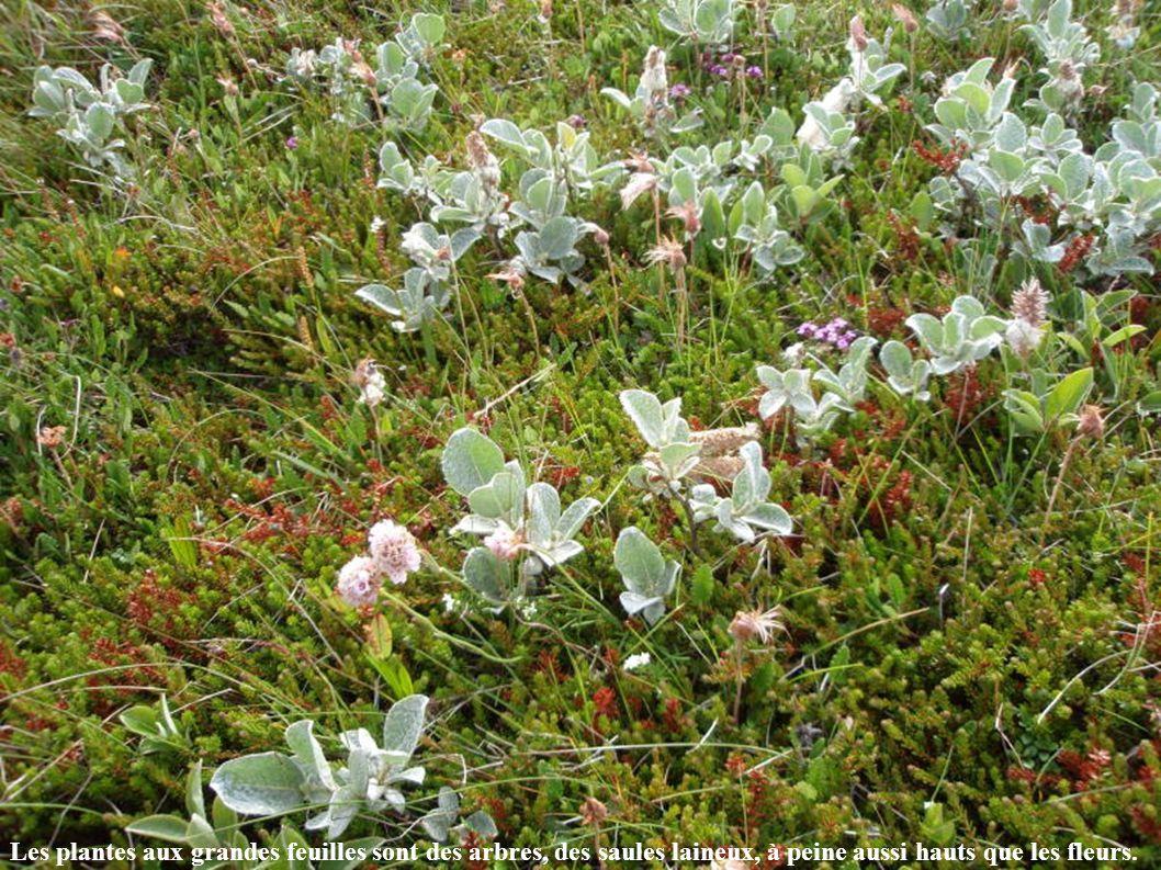 Les plantes aux grandes feuilles sont des arbres, des saules laineux, à peine aussi hauts que les fleurs.