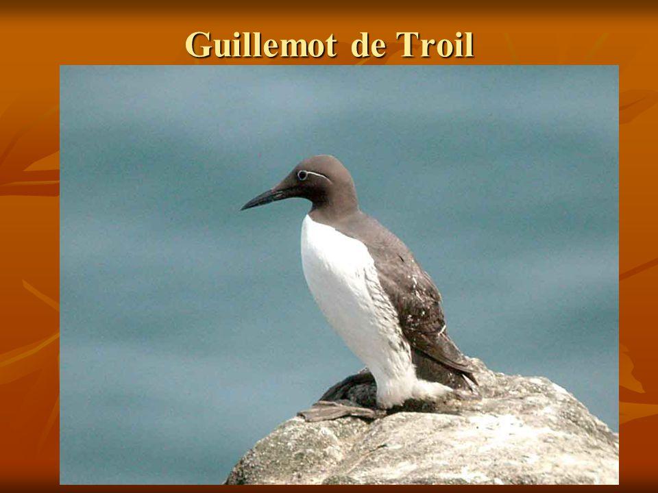Guillemot de Troil