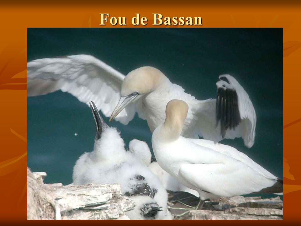 Fou de Bassan