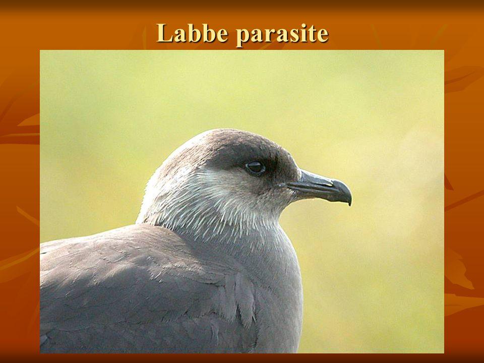 Labbe parasite