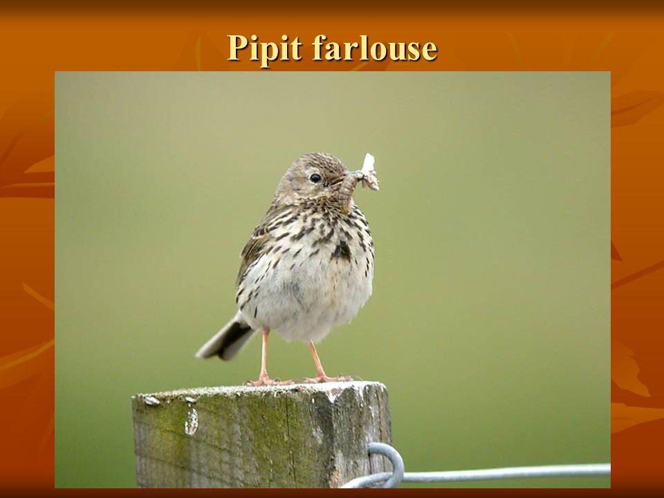 Pipit farlouse