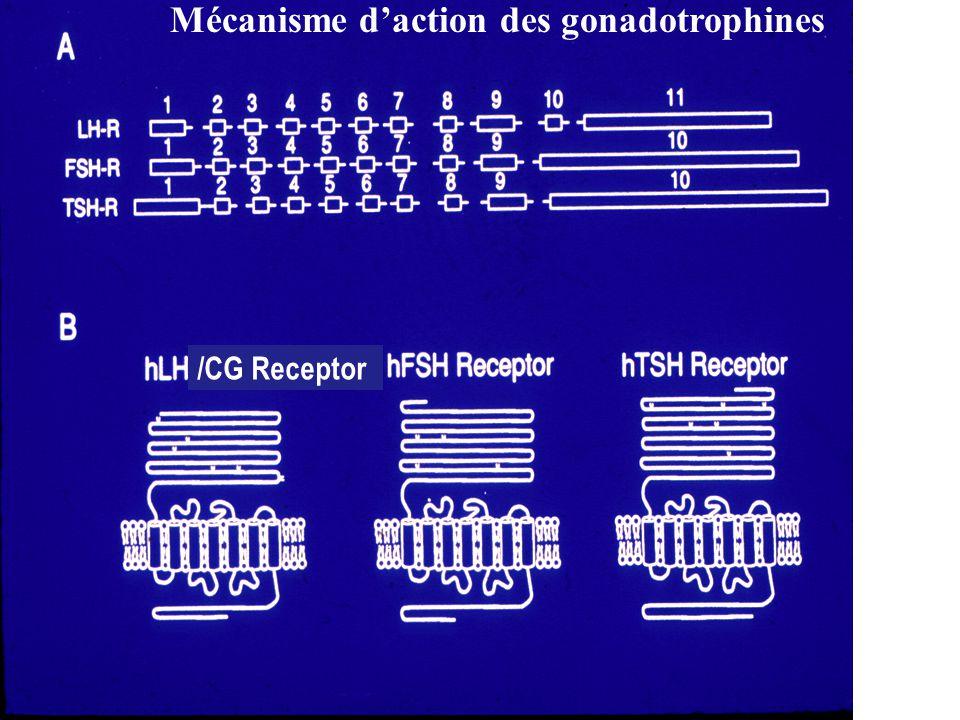 Mécanisme daction des gonadotrophines /CG Receptor