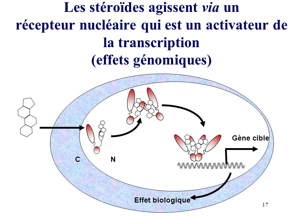 17 Les stéroïdes agissent via un récepteur nucléaire qui est un activateur de la transcription (effets génomiques) CN Gène cible Effet biologique P