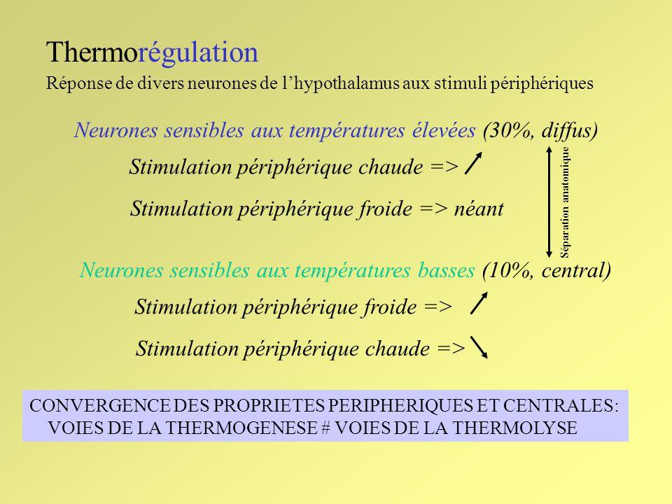 Thermorégulation Réponse de divers neurones de lhypothalamus aux stimuli périphériques Neurones sensibles aux températures élevées (30%, diffus) Stimu