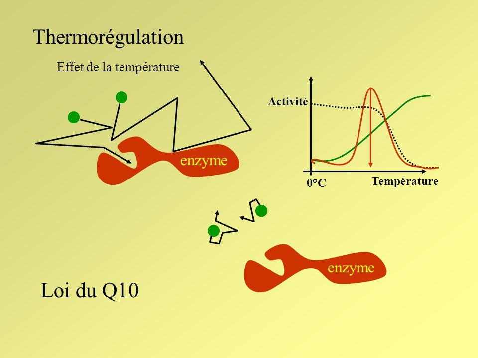 Thermorégulation Métabolisme Réchauffement externePerte de chaleur Température endothermesectothermes Constante: homéotherme Variable: poïkilotherme
