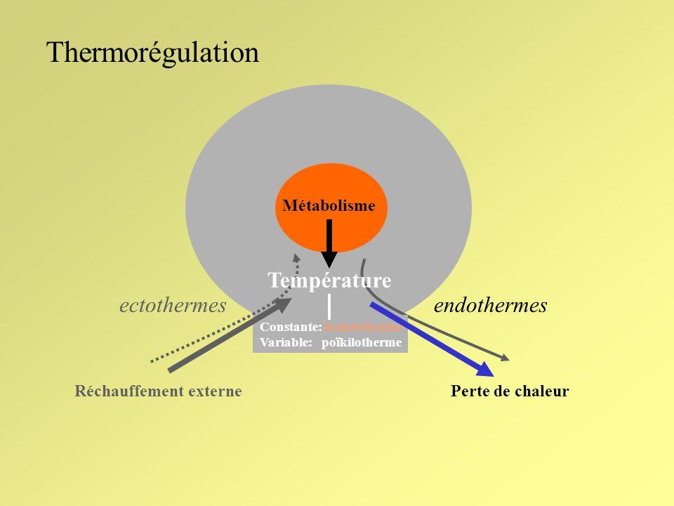 Thermorégulation Modèle cybernétique N °C Temps Activité de référence.