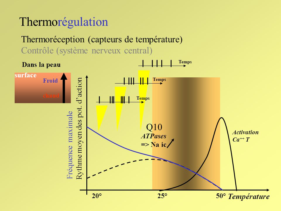 Thermorégulation Thermoréception (capteurs de température) Contrôle (système nerveux central) Ailleurs que dans la peau: troncs veineux abdominaux cerveau (hypothalamus - et ailleurs?-) Réponses neuronales à des stimuli périphériques thermiques.