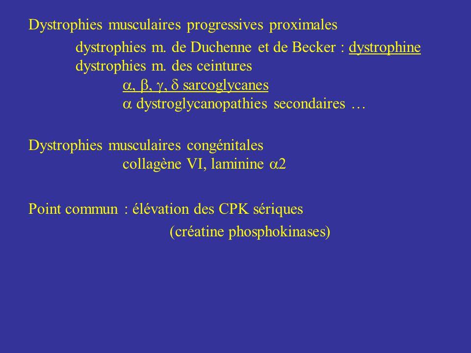 Dystrophies musculaires progressives proximales dystrophies m. de Duchenne et de Becker : dystrophine dystrophies m. des ceintures sarcoglycanes dystr