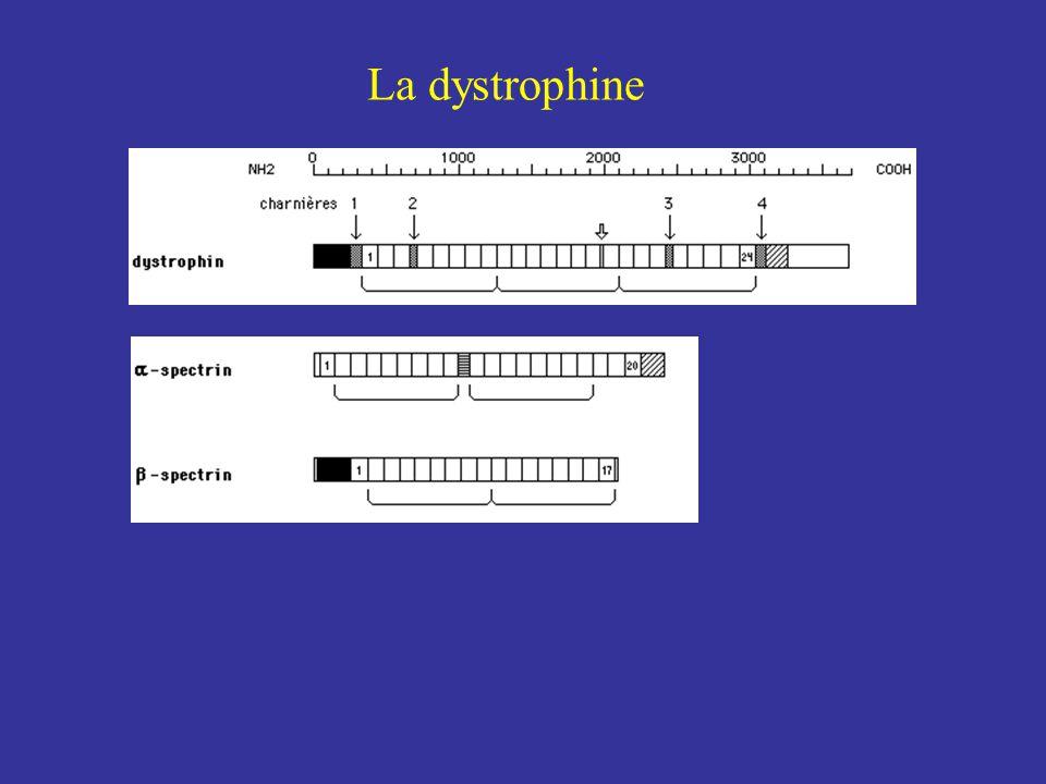 Histo-immuno-fluorescence de la dystrophine