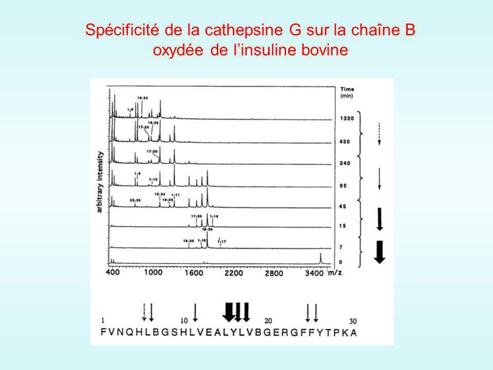 Spécificité de la cathepsine G sur la chaîne B oxydée de linsuline bovine
