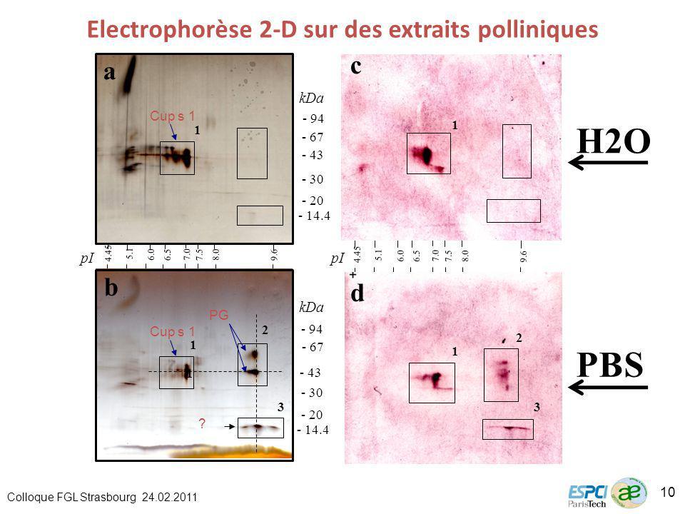 H2O 4.45 5.1 6.0 6.5 7.0 7.5 8.0 9.6 - 94 - 67 - 30 - 20 - 43 - 14.4 - 94 - 67 - 30 - 20 - 43 - 14.4 pI kDa 4.45 5.1 6.0 6.5 7.0 7.58.0 9.6 1 1 3 1 2 3 1 1 a b c d 2 pI PBS Electrophorèse 2-D sur des extraits polliniques Cup s 1 PG .