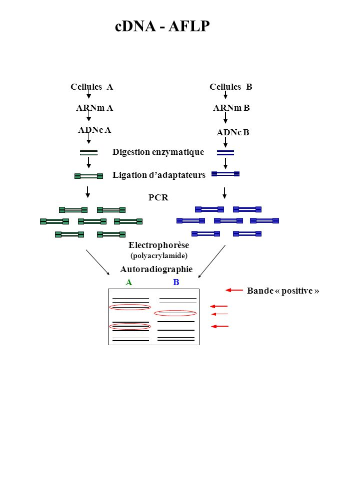 Electrophorèse (polyacrylamide) AB Autoradiographie Bande « positive » Digestion enzymatique Cellules A ARNm A ADNc A Ligation dadaptateurs Cellules B