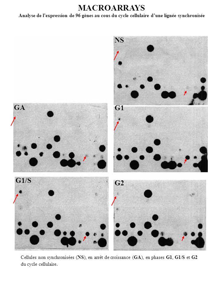 MACROARRAYS Analyse de lexpression de 96 gènes au cous du cycle cellulaire dune lignée synchronisée GA G1/S G1 G2 NS Cellules non synchronisées (NS),