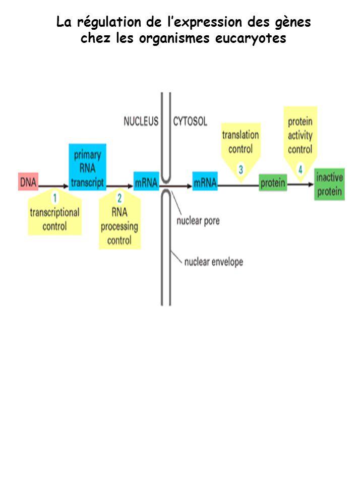 La régulation de lexpression des gènes chez les organismes eucaryotes