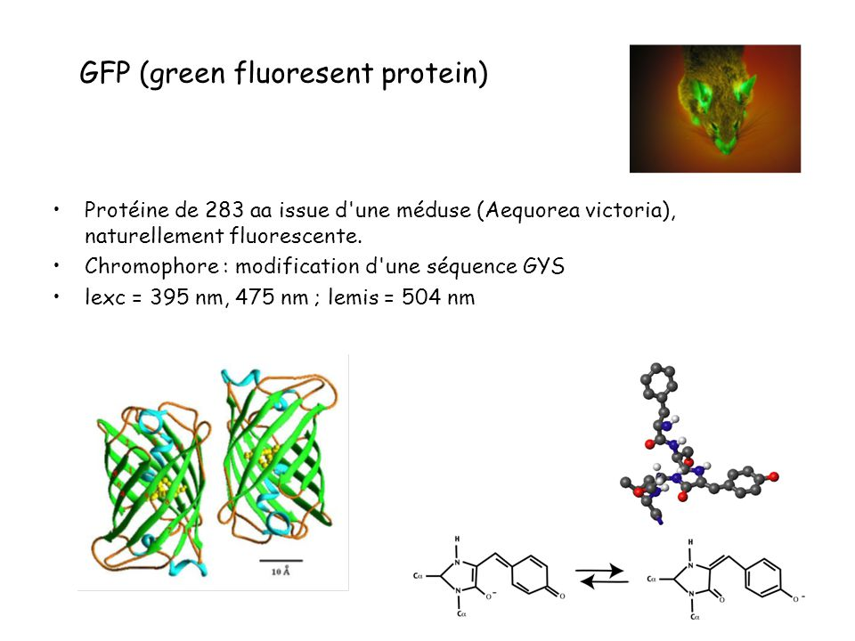 Protéine de 283 aa issue d'une méduse (Aequorea victoria), naturellement fluorescente. Chromophore : modification d'une séquence GYS lexc = 395 nm, 47