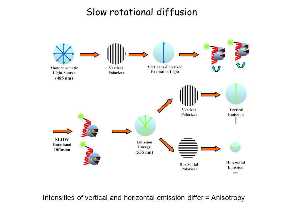 Slow rotational diffusion Intensities of vertical and horizontal emission differ = Anisotropy