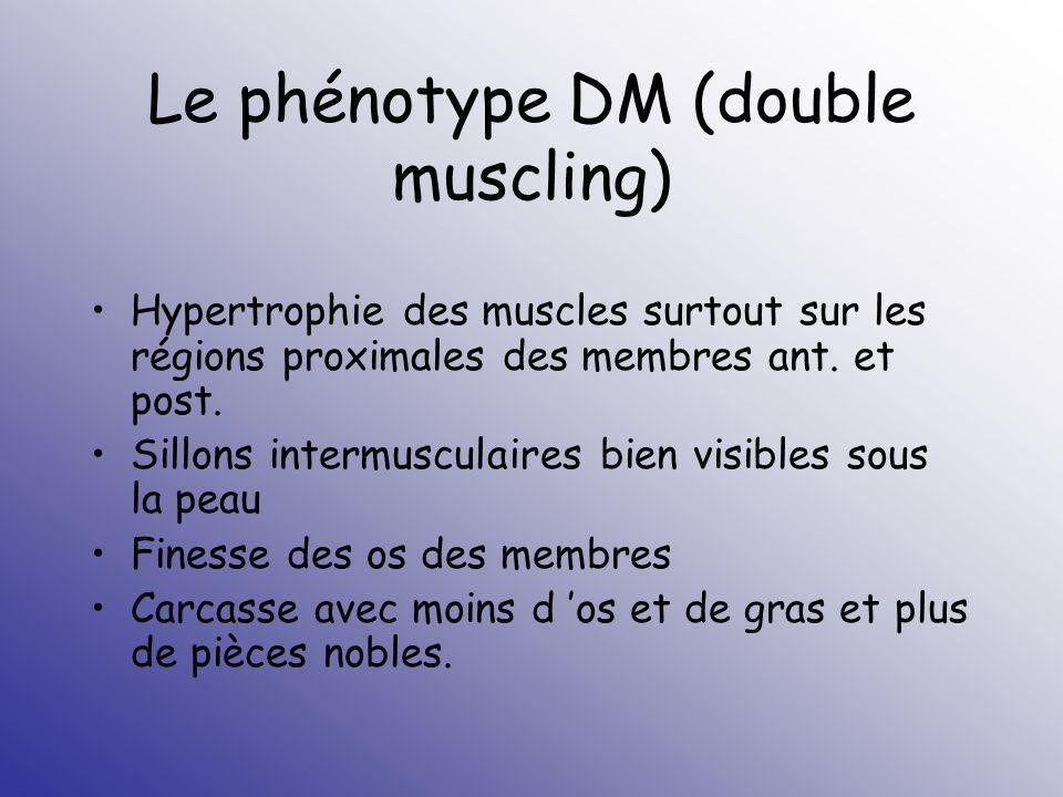 Le phénotype DM (double muscling) Hypertrophie des muscles surtout sur les régions proximales des membres ant. et post. Sillons intermusculaires bien