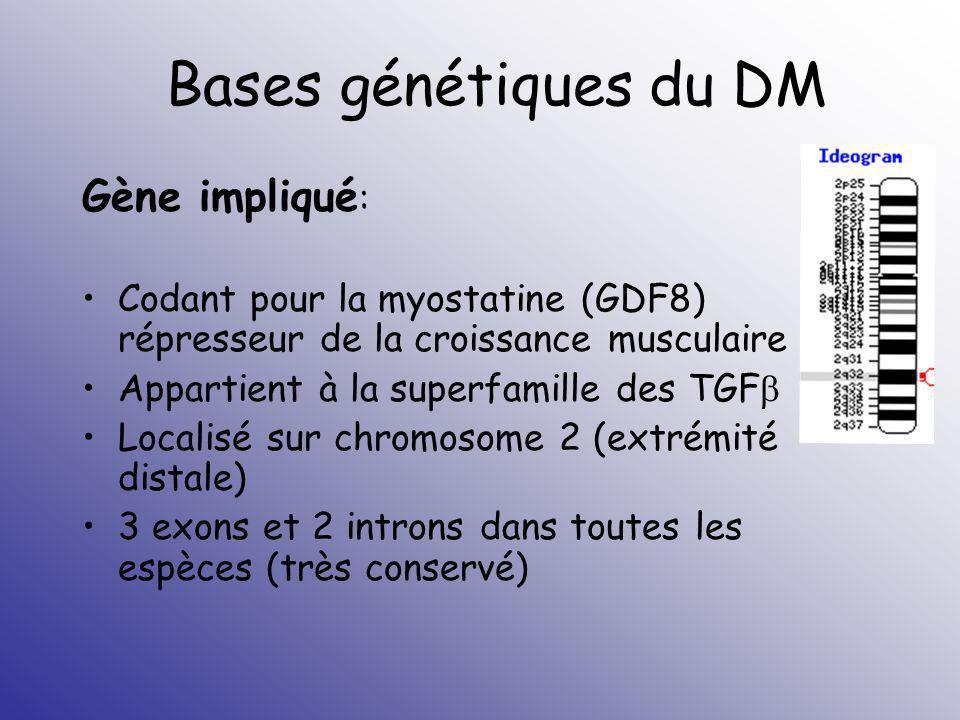 Bases génétiques du DM Gène impliqué : Codant pour la myostatine (GDF8) répresseur de la croissance musculaire Appartient à la superfamille des TGF Lo