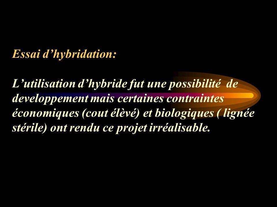 Essai dhybridation: Lutilisation dhybride fut une possibilité de developpement mais certaines contraintes économiques (cout élèvé) et biologiques ( lignée stérile) ont rendu ce projet irréalisable.