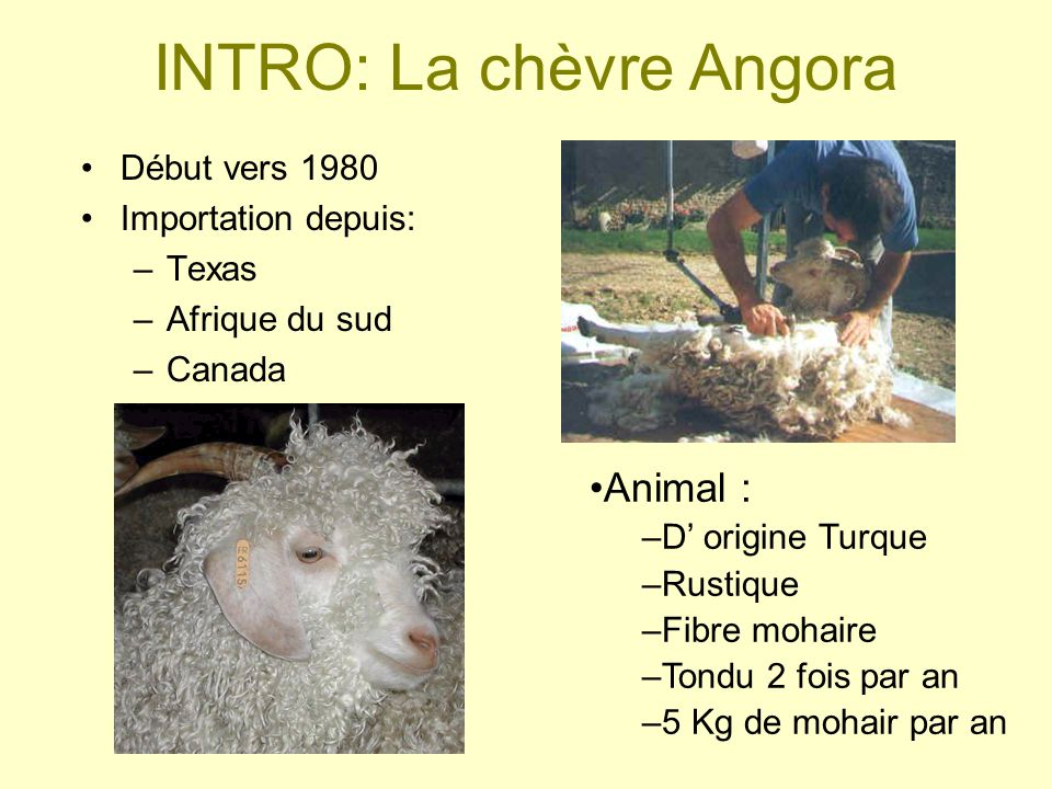 INTRO: La chèvre Angora Début vers 1980 Importation depuis: –Texas –Afrique du sud –Canada Animal : –D origine Turque –Rustique –Fibre mohaire –Tondu