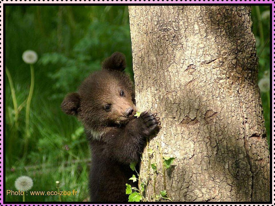 La parade amoureuse peut durer de quelques jours à quelques semaines. Deux grandes particularités sont observées chez les ourses : lovulation induite