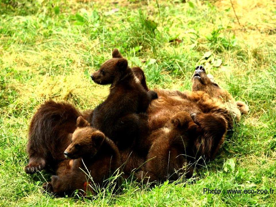 LHemicyon, 1er ours sur Terre est apparu il y a 20 millions dannées. Il existe actuellement 8 espèces dUrsidés dans le monde : Lours à Lunettes (Améri