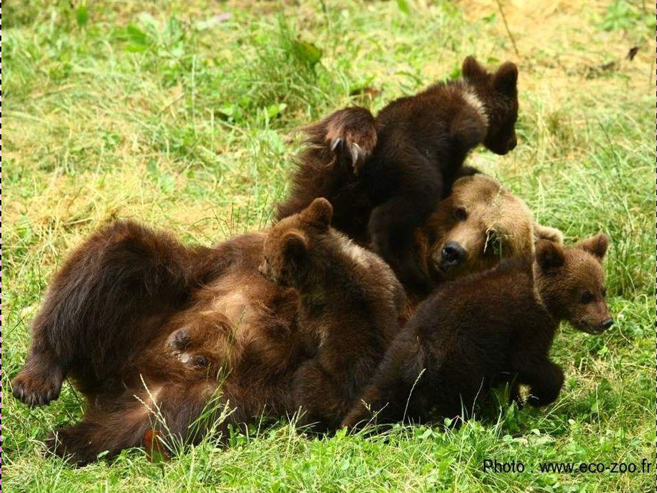 1) Généralités Classification : Classe : Mammifère Superordre : Carnivores Ordre : Fissipèdes Famille : Ursidae Sous- famille : Ursinae Genre : Ursus