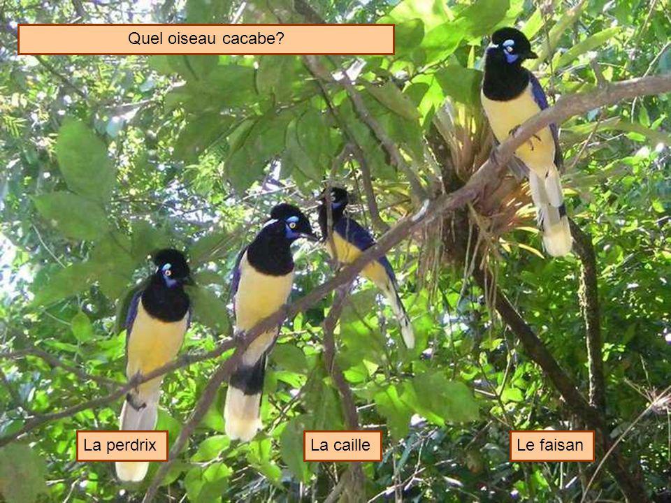 Quel oiseau cacabe? La perdrixLa cailleLe faisan