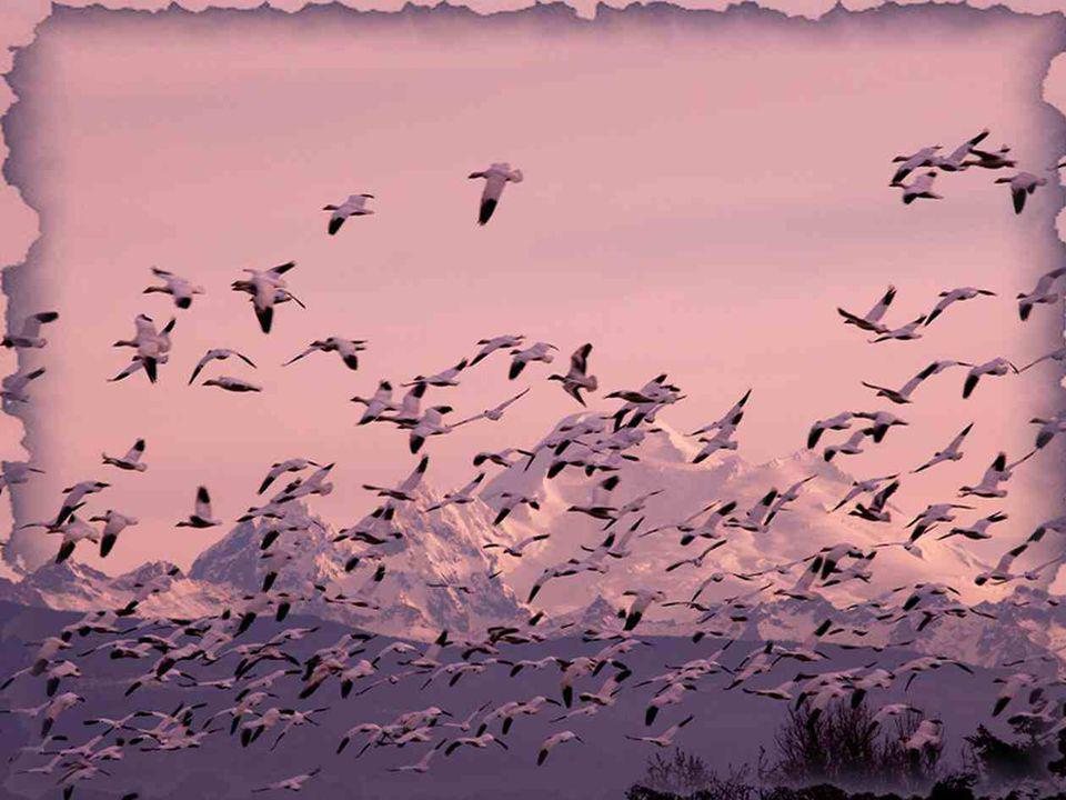 En regardant une envolée d'oiseaux se diriger vers le sud, n'y a-t-il pas là le plus bel exemple de l'harmonie ? Si l'humain se faisait sourd pour un