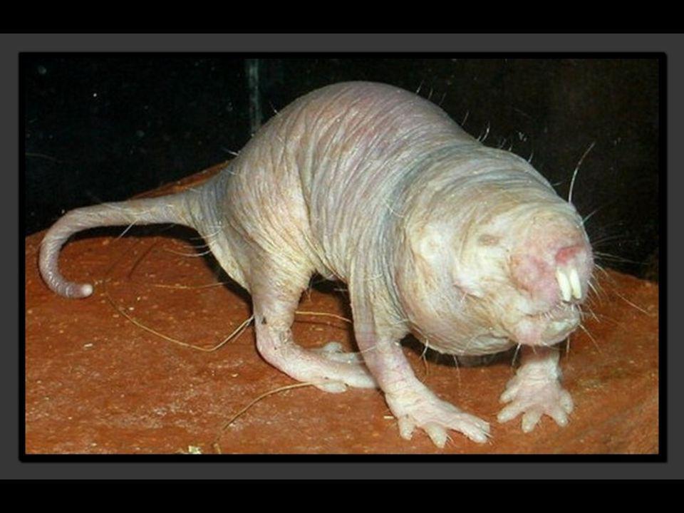 Le rat-taupe nu vit principalement en Somalie, au Kenya et en Éthiopie.