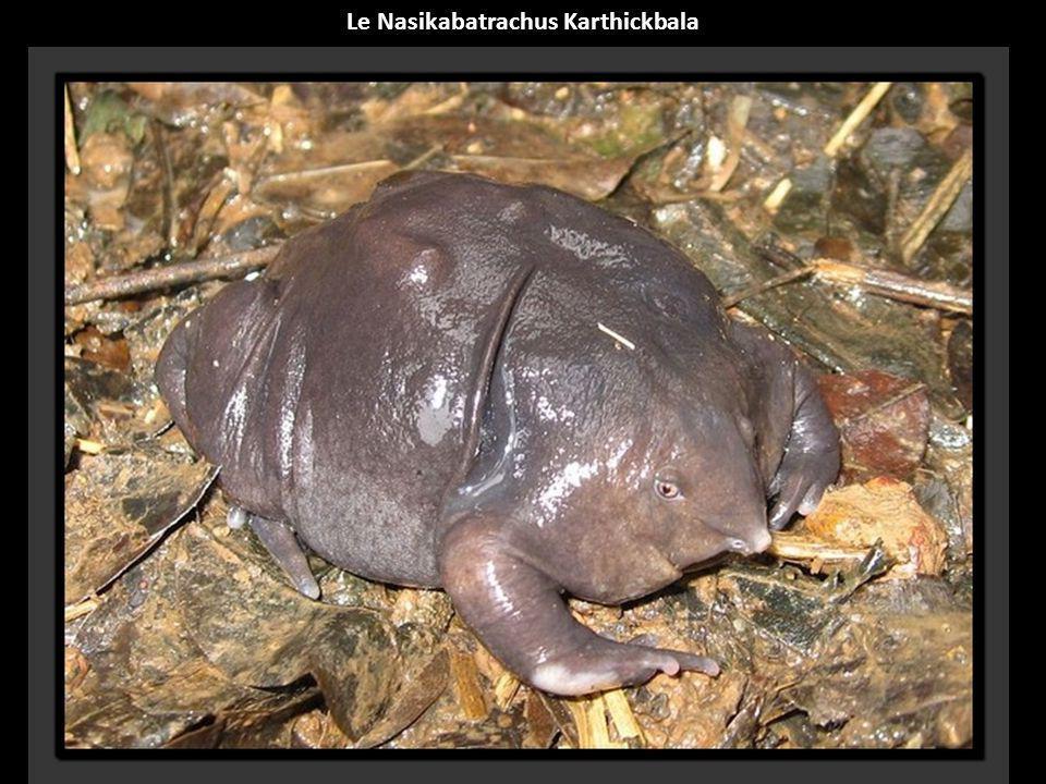 Le Nasikabatrachus Karthickbala