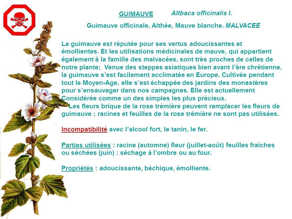 GUIMAUVE Altbaca officinalis I.Guimauve officinale, Althée, Mauve blanche.