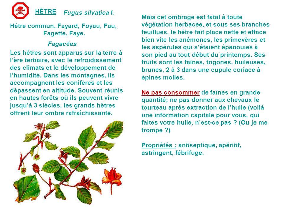 HÊTRE Fugus silvatica I.Hêtre commun. Fayard, Foyau, Fau, Fagette, Faye.