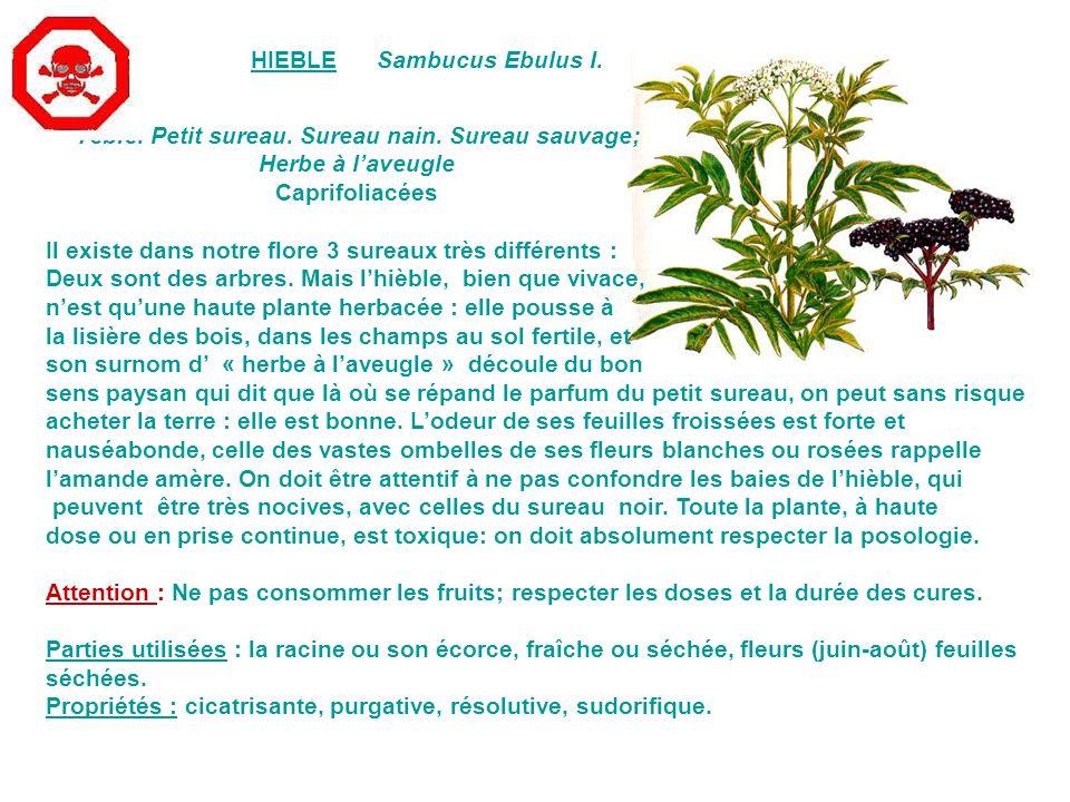 LISERON DES HAIESConvolvulus sepium L.Grand Liseron, Manchette-de-Notre-Dame.