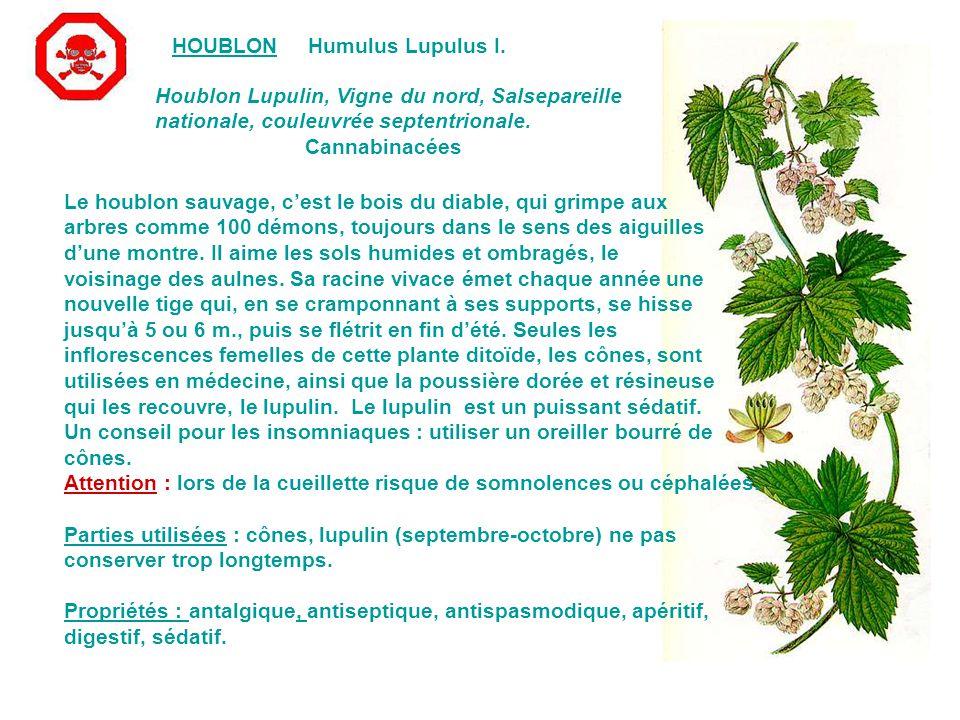 HOUBLONHumulus Lupulus I.