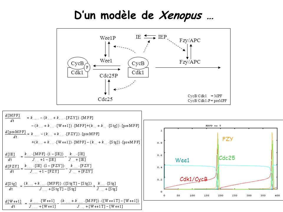 MPRI - Bio-informatique formelle - LC Dun modèle de Xenopus … Wee1 Cdk1/CycB FZY Cdc25 CycB/Cdk1 = MPF CycB/Cdk1-P = preMPF Wee1 Cdc25P Fzy/APC IEP Cdk1 CycB P Fzy/APC IE Cdc25 Wee1P Cdk1 CycB