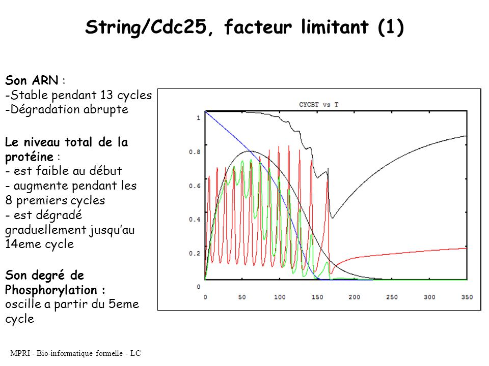 MPRI - Bio-informatique formelle - LC String/Cdc25, facteur limitant (1) Son ARN : -Stable pendant 13 cycles -Dégradation abrupte Le niveau total de la protéine : - est faible au début - augmente pendant les 8 premiers cycles - est dégradé graduellement jusquau 14eme cycle Son degré de Phosphorylation : oscille a partir du 5eme cycle