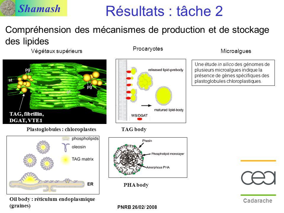 Shamash PNRB 26/02/ 2008 PHA body Oil body : réticulum endoplasmique (graines) TAG bodyPlastoglobules : chloroplastes TAG, fibrillin, DGAT, VTE1 Végét
