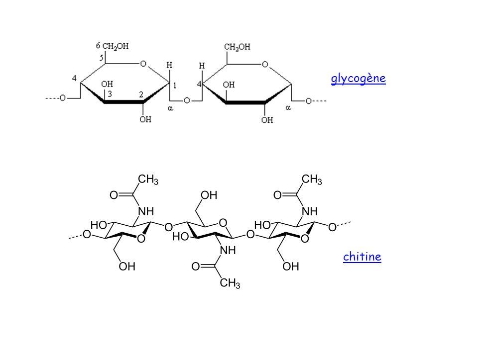 chitine glycogène