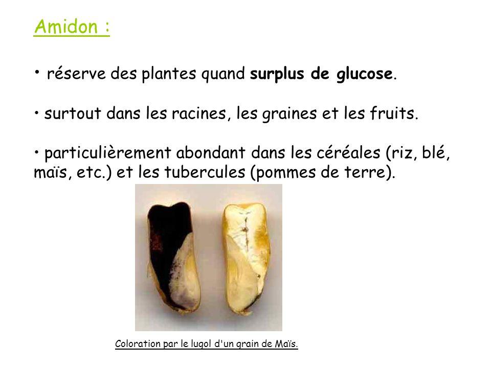 Amidon : réserve des plantes quand surplus de glucose.