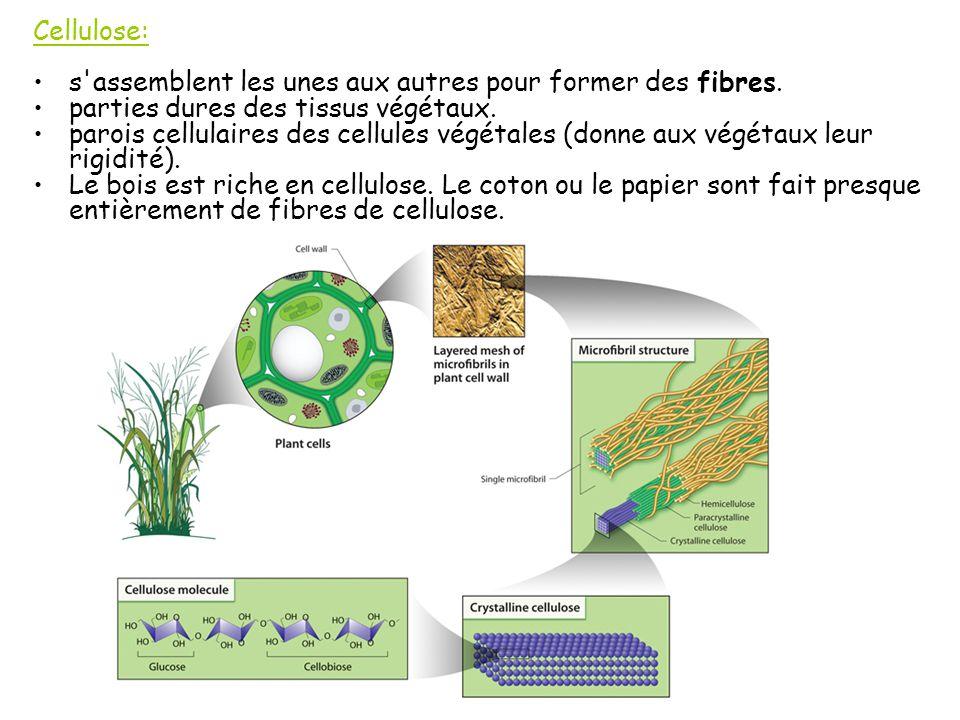 Cellulose: s assemblent les unes aux autres pour former des fibres.