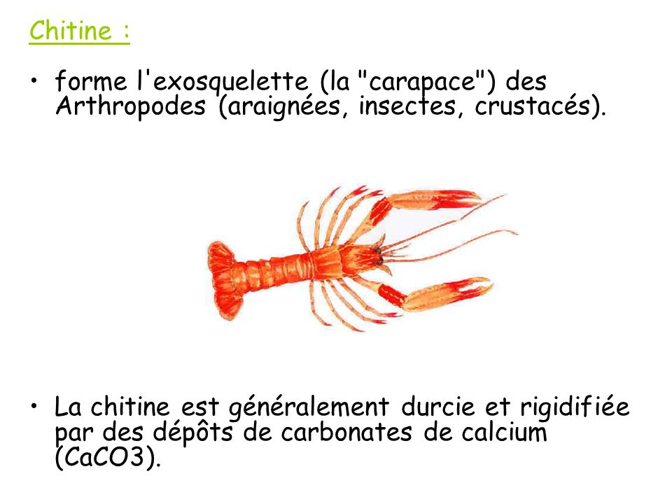 Chitine : forme l exosquelette (la carapace ) des Arthropodes (araignées, insectes, crustacés).