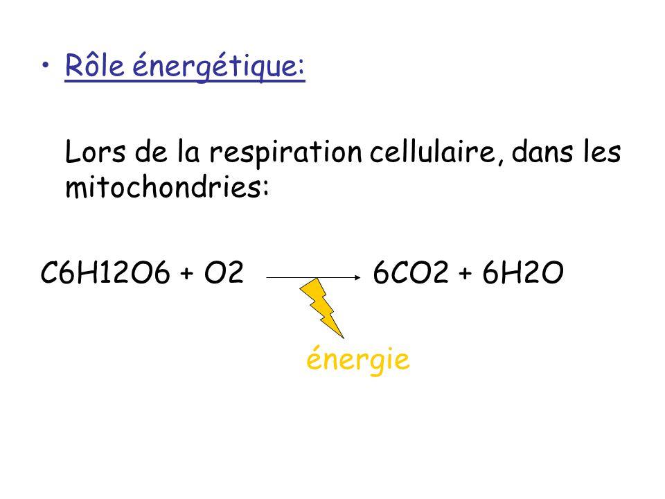 Rôle énergétique: Lors de la respiration cellulaire, dans les mitochondries: C6H12O6 + O26CO2 + 6H2O énergie