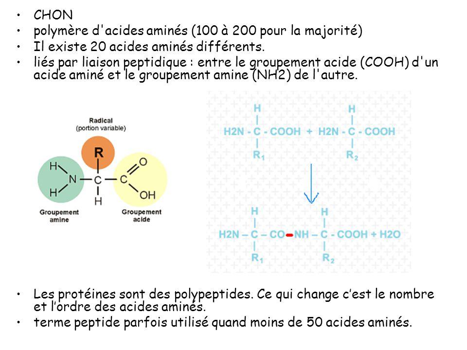CHON polymère d acides aminés (100 à 200 pour la majorité) Il existe 20 acides aminés différents.