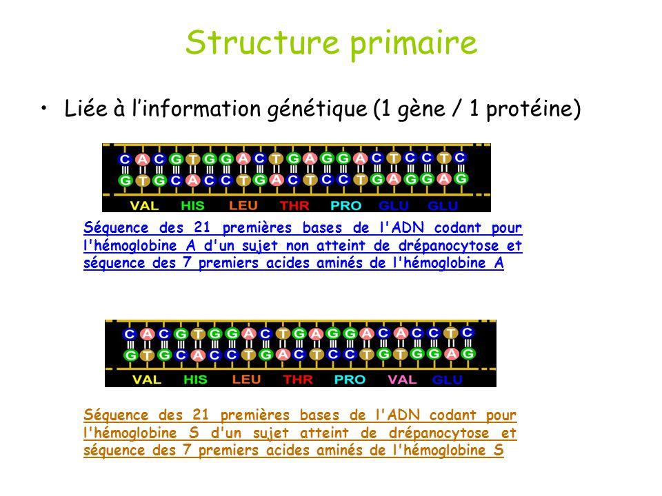Structure primaire Liée à linformation génétique (1 gène / 1 protéine) Séquence des 21 premières bases de l ADN codant pour l hémoglobine A d un sujet non atteint de drépanocytose et séquence des 7 premiers acides aminés de l hémoglobine A Séquence des 21 premières bases de l ADN codant pour l hémoglobine S d un sujet atteint de drépanocytose et séquence des 7 premiers acides aminés de l hémoglobine S