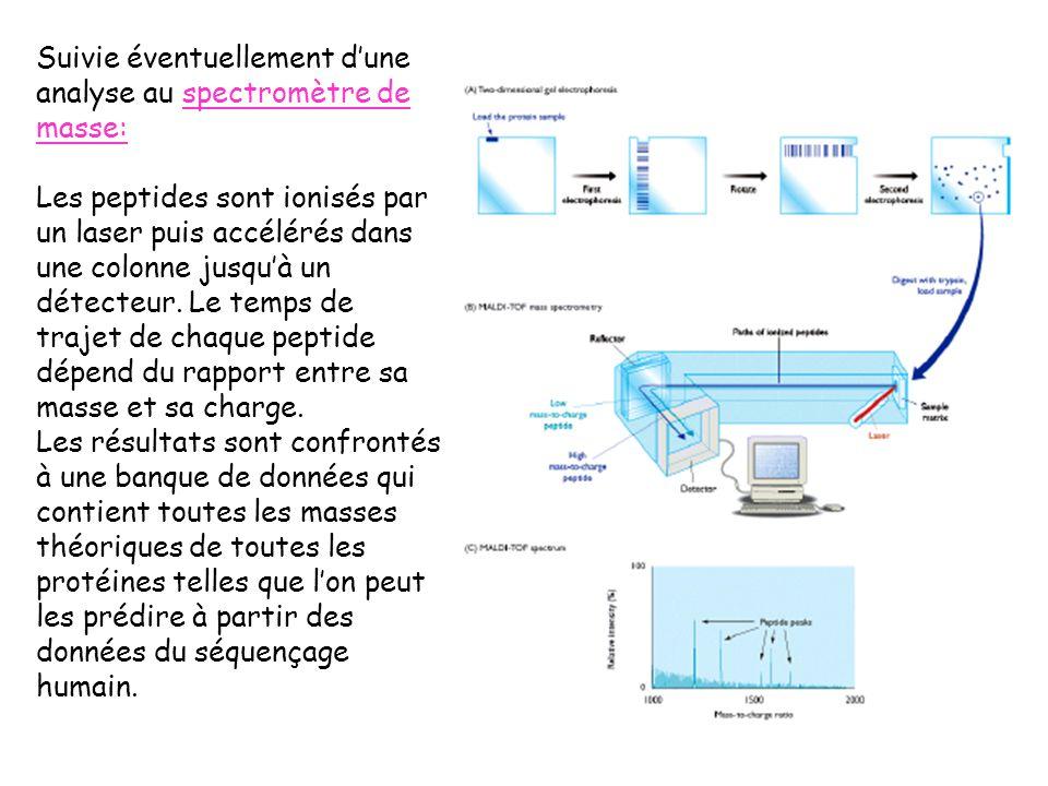 Suivie éventuellement dune analyse au spectromètre de masse: Les peptides sont ionisés par un laser puis accélérés dans une colonne jusquà un détecteur.