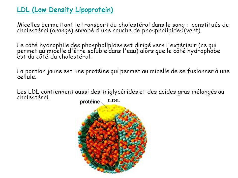 LDL (Low Density Lipoprotein) Micelles permettant le transport du cholestérol dans le sang : constitués de cholestérol (orange) enrobé d une couche de phospholipides (vert).